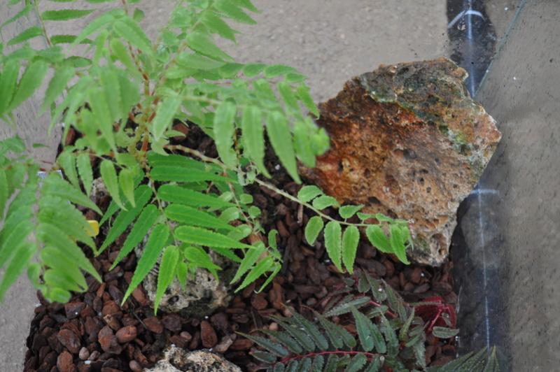 Begonia pteridiformis Septem60