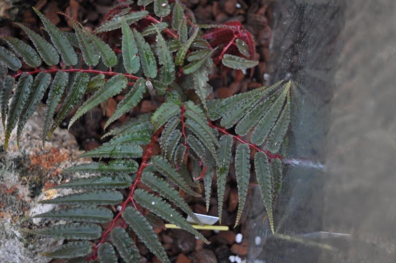Begonia pteridiformis Septem61