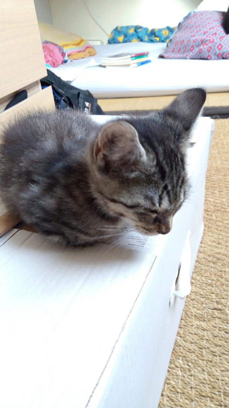nemo - NEMO, chaton tigré gris tabby, né le 06/05/2017 P_201713