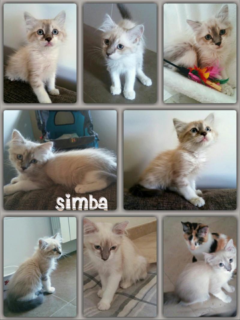 SIMBA - POILS LONGS - CREME - ES (Sole)  Img15020