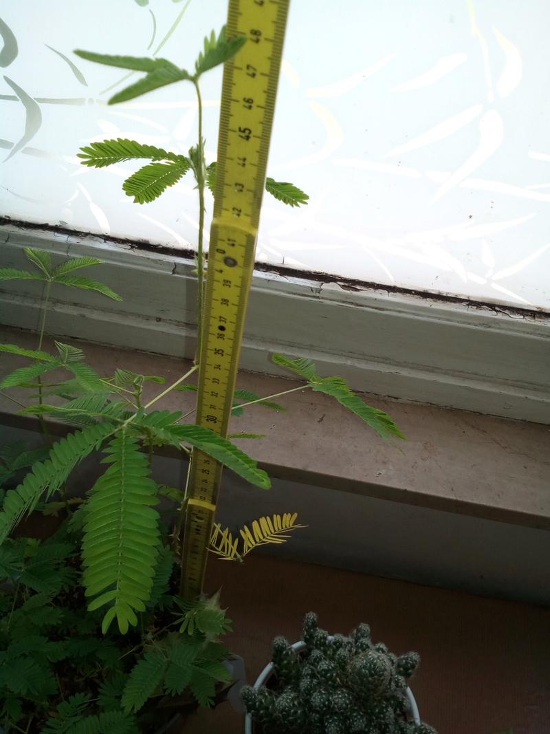 Qui a le plus grand Mimosa Pudica Img_2063