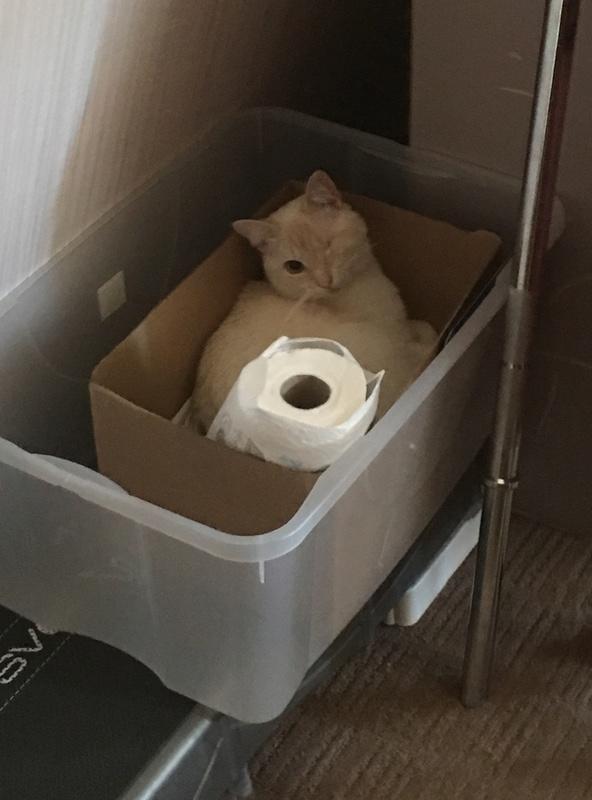 """lancome - Lancôme, jeune chat mâle crème """"red point"""", né en novembre 2015, EN DON LIBRE Img_3016"""