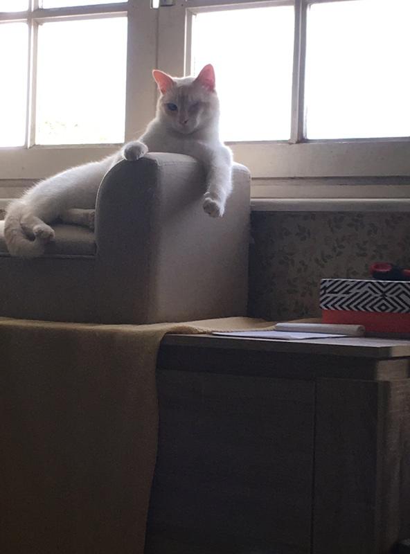 """lancome - Lancôme, jeune chat mâle crème """"red point"""", né en novembre 2015, EN DON LIBRE Img_3113"""