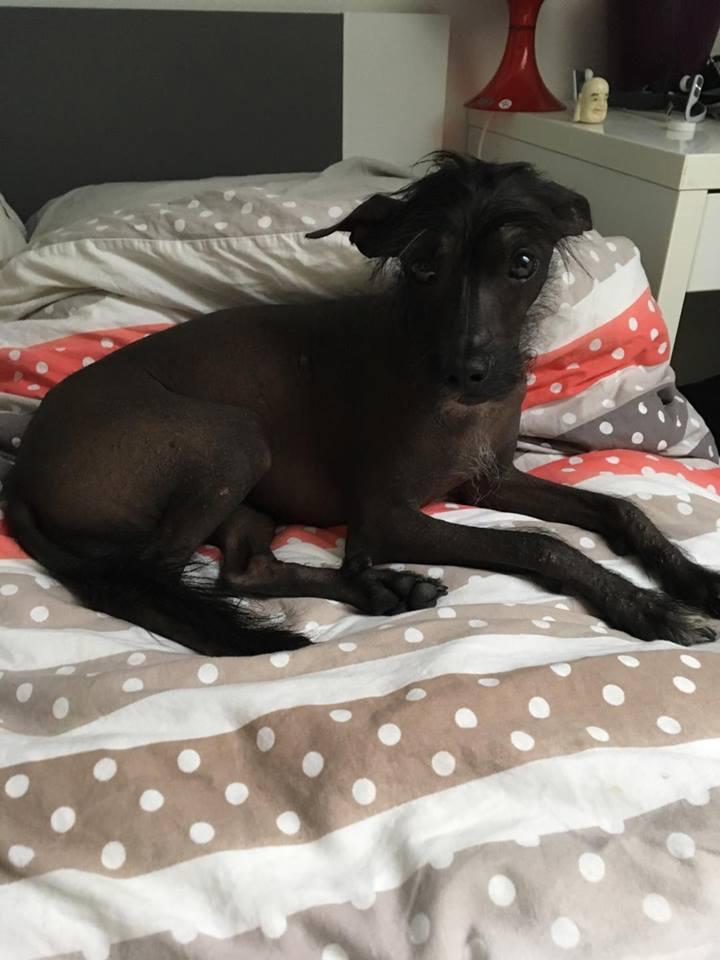 Caramel chien chinois à crête à l'adoption Scooby France  Adopté  19965010