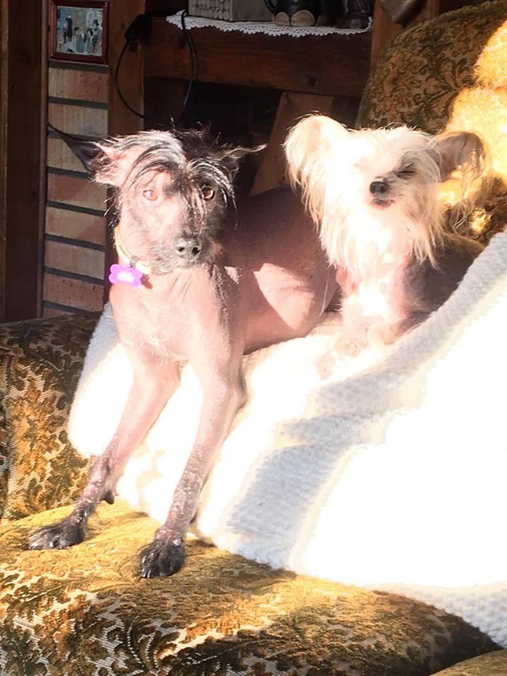Caramel chien chinois à crête à l'adoption Scooby France  Adopté  20472110