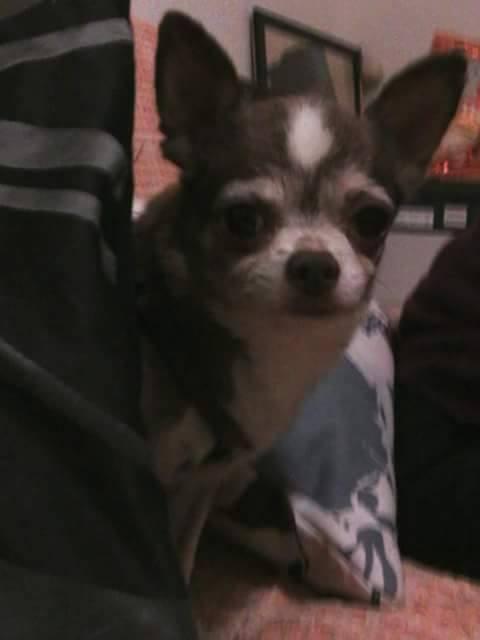 TINO petit chihuahua de 10 ans ADOPTE 21697910