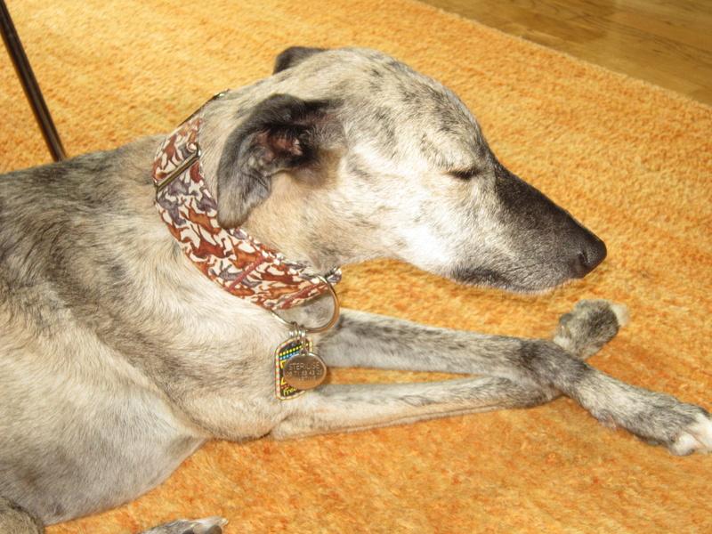 BASTIAN , galgo né en 2013, à l'adoption  SCOOBY FRANCE  - Page 3 Img_1112