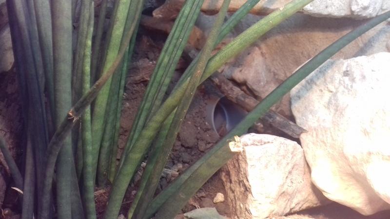 terrarium cordylus tropidosternum 20170810