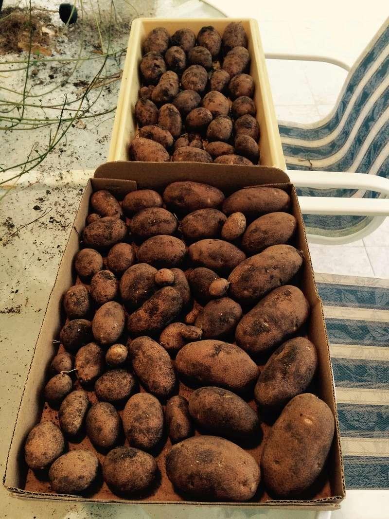 2017 SFG in Brooks, Ga - Page 6 Potato10