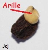Iris arilbred (AR) Arille10