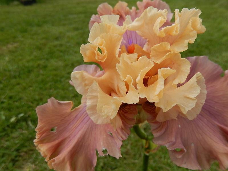 Iris 'Glamazon' - Barry Blyth 2007 Glamaz11