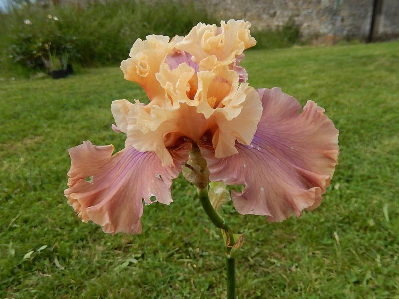 Iris 'Glamazon' - B. Blyth 2007 Glamaz12