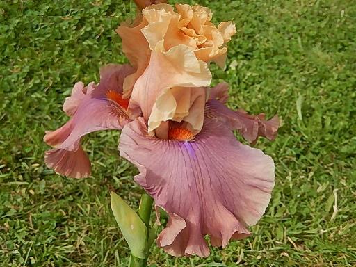 Iris 'Glamazon' - Barry Blyth 2007 Glamaz13