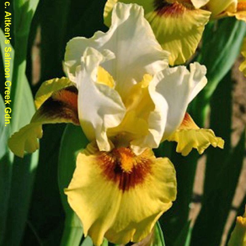 Iris arilbred (AR) Lighto10