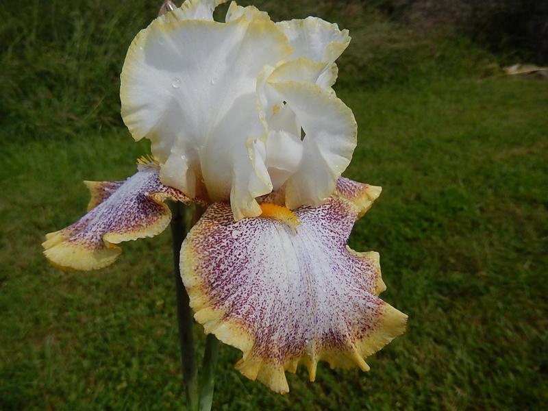 Iris 'Whispering Spirit' - Ernst 2001 Whispe11
