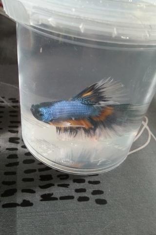 Voici mon petit mâle Betta :) Copie110