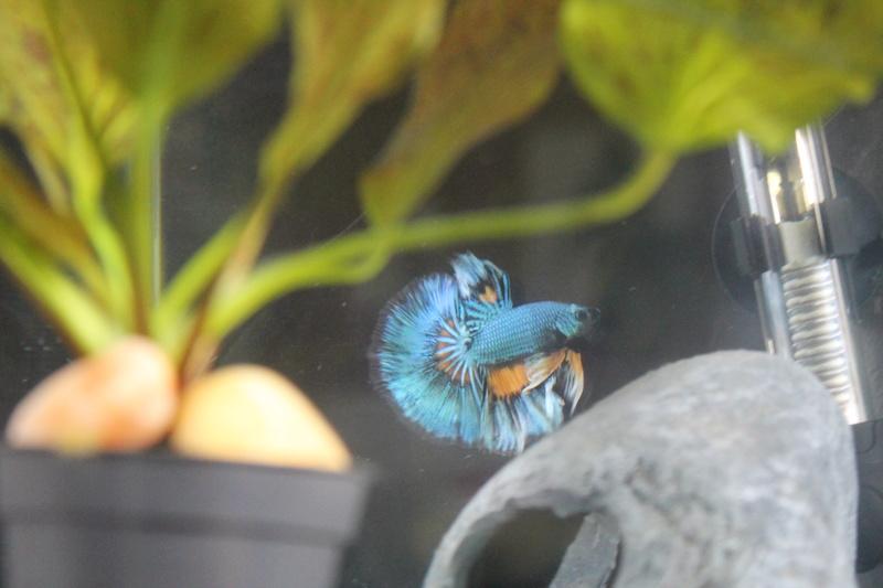 Voici mon petit mâle Betta :) Img_9311