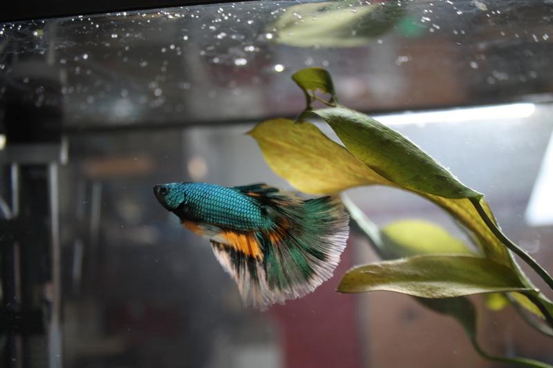 Voici mon petit mâle Betta :) Img_9312