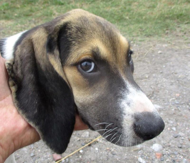 Alerte aux vols de chiens  Image240