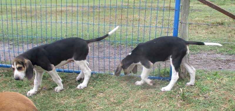 Alerte aux vols de chiens  Image241