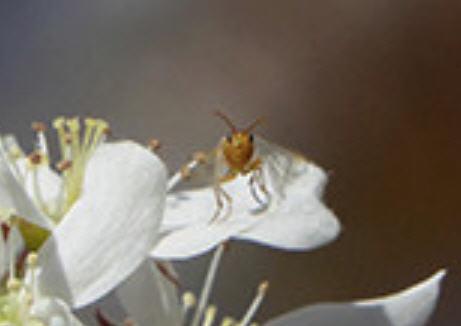 Fleurs d'arbres fruitiers Insect10