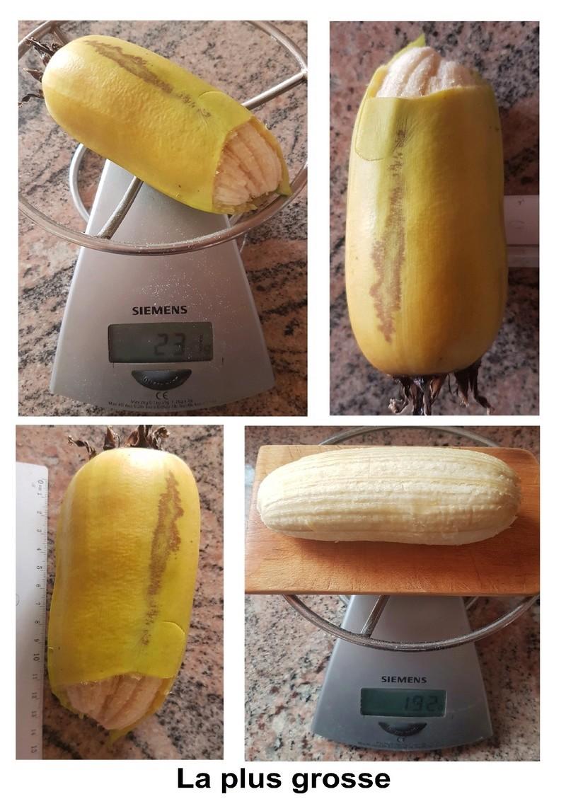 Cutiver des bananes en Suisse et les manger ? - Page 2 La_plu11