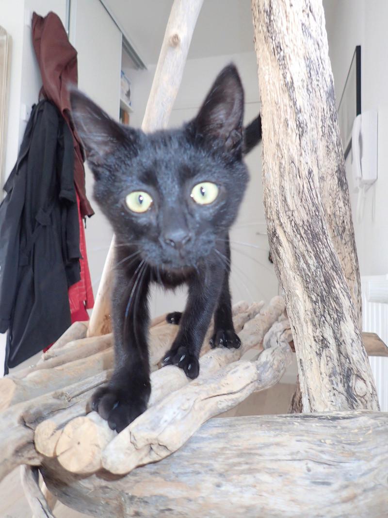 Néji, chaton noir, né le 30/05/17 P9301610