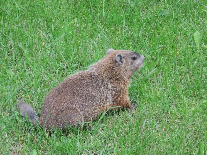 Une marmotte dans la cour du voisin! 2017-014