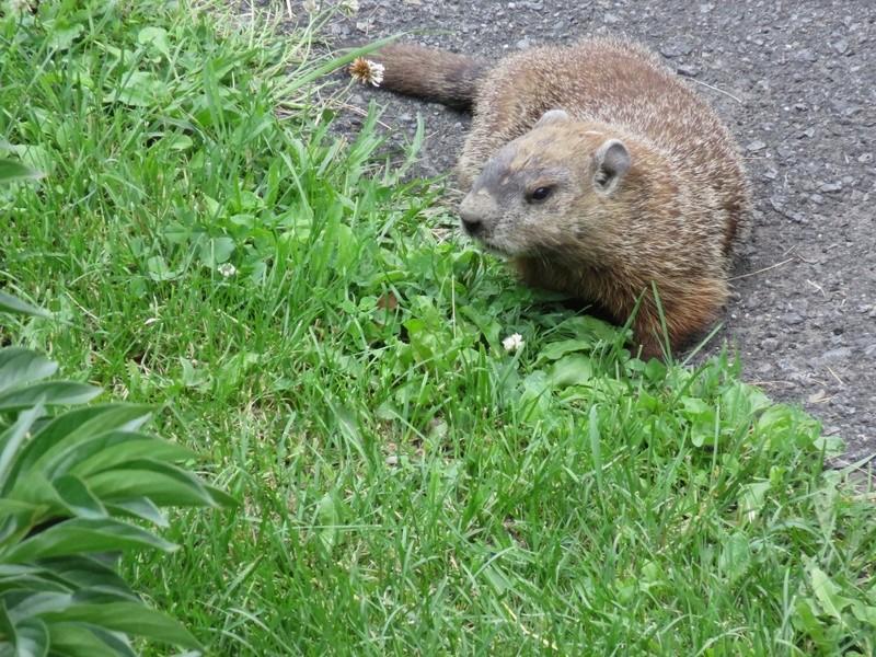 Une marmotte dans la cour du voisin! 2017-015