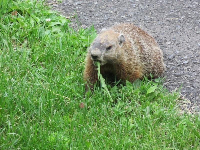 Une marmotte dans la cour du voisin! 2017-017