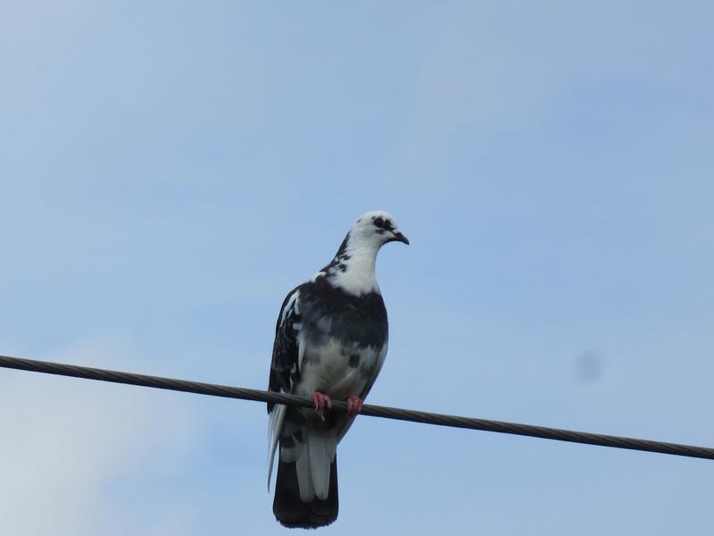 Particulier, ce pigeon  2017-050