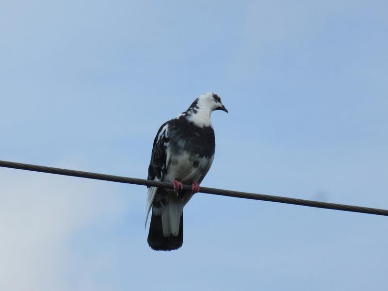 Particulier, ce pigeon  2017-051