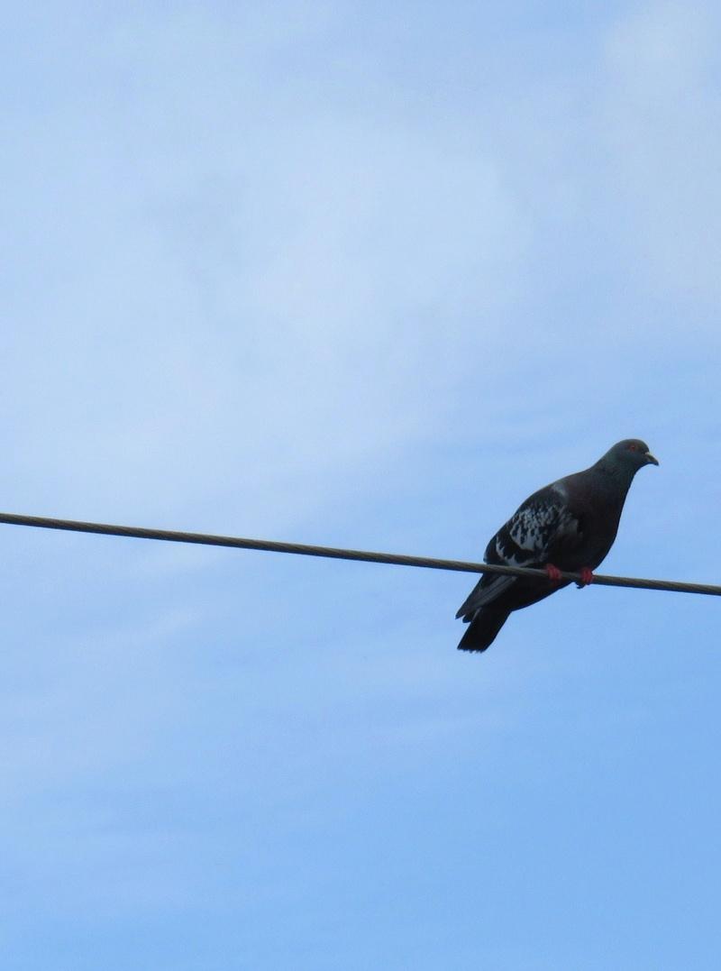 Particulier ce pigeon (2) 2017-052