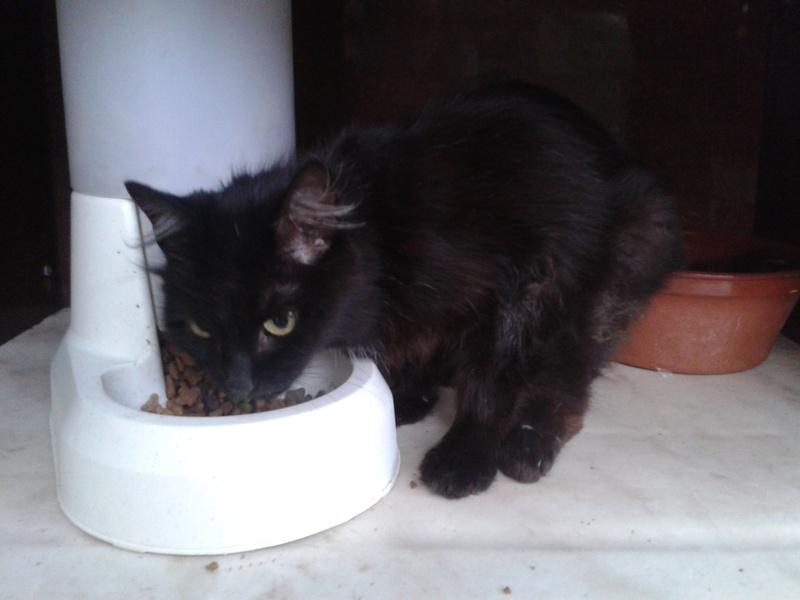Trouvée chatte noire poils mi-longs à Colomiers 20170714