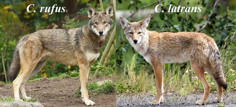 Les animaux disparus-espèces éteintes du fait de l'homme et son mode de vie Canis_10