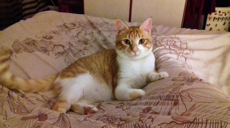 moise - Moïse-chaton tigré roux et blanc-né le 15/03/2016 20170410