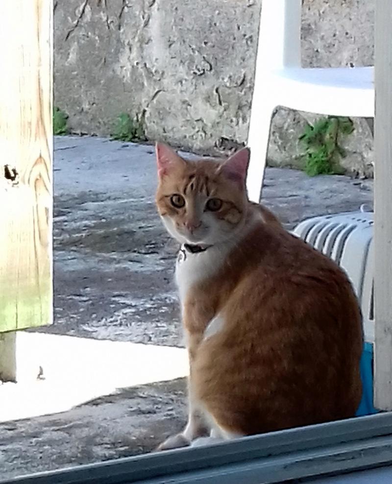 moise - Moïse-chaton tigré roux et blanc-né le 15/03/2016 20170510