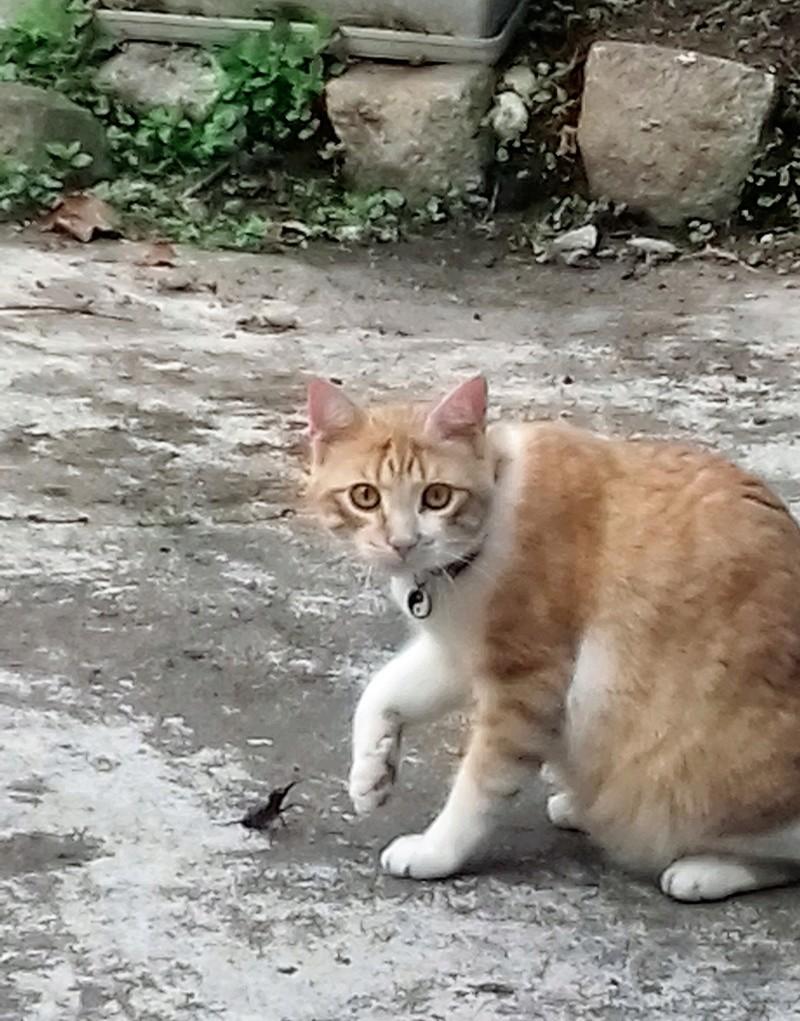 moise - Moïse-chaton tigré roux et blanc-né le 15/03/2016 20170511