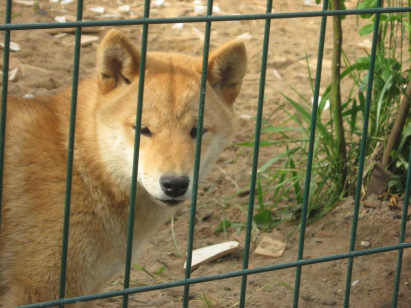 Подрощенный щенок сибы Img_5411