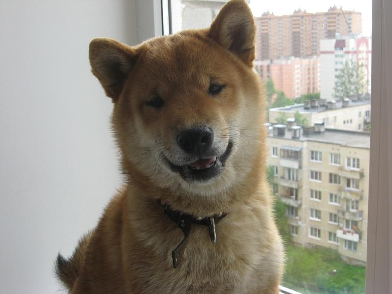 Подрощенный щенок сибы Img_5412