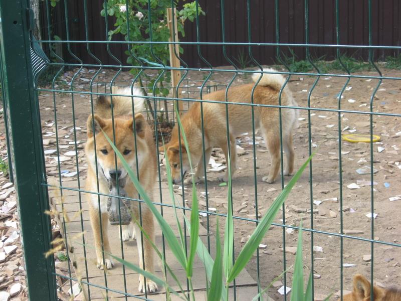 Подрощенный щенок сибы Img_5418