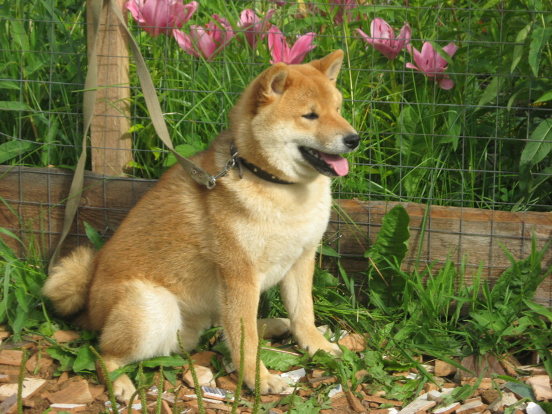 Подрощенный щенок сибы Img_5521