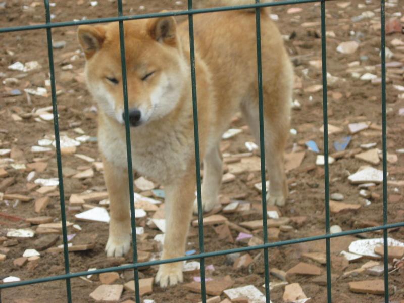 Подрощенный щенок сибы Img_5566