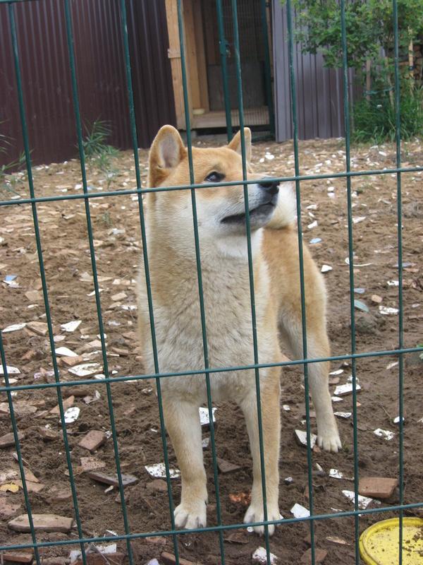 Подрощенный щенок сибы Img_5567