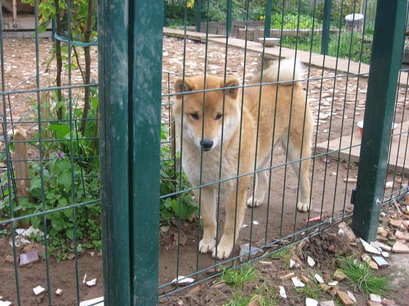 Подрощенный щенок сибы Img_5568