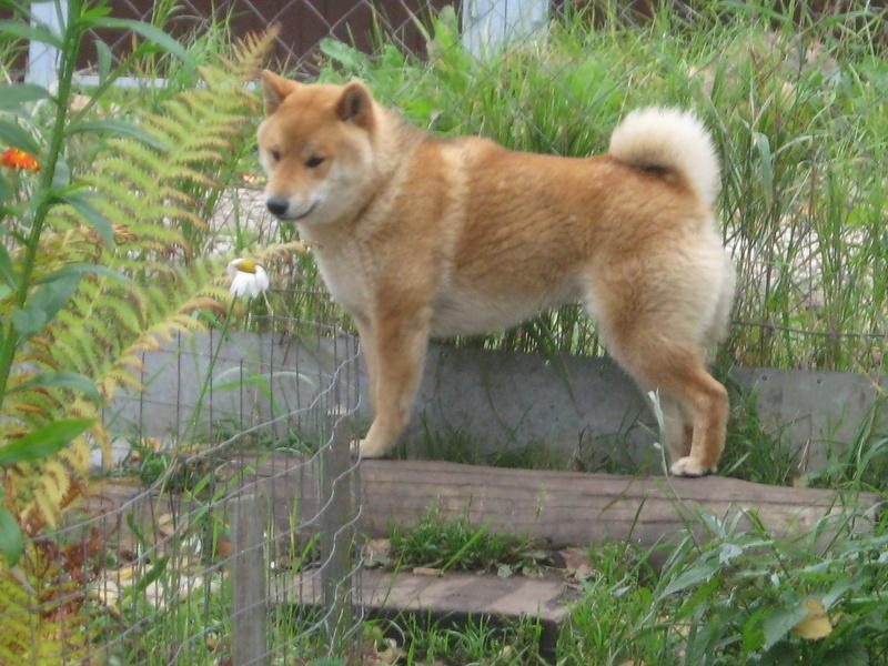 Подрощенный щенок сибы Img_5569