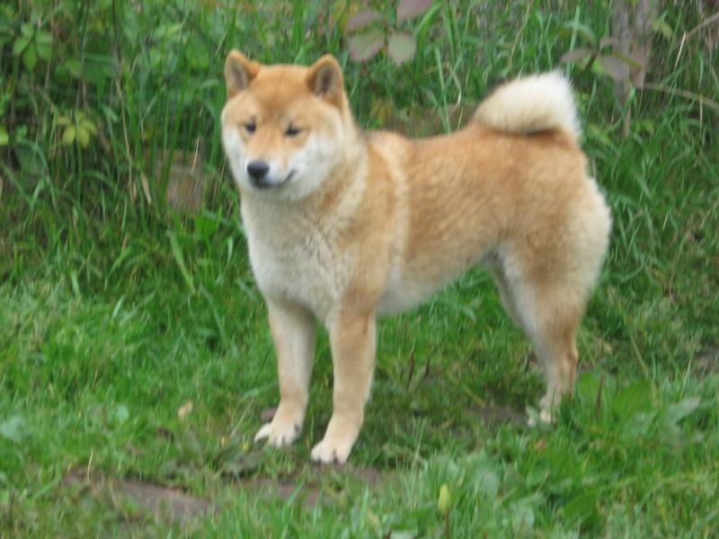 Подрощенный щенок сибы Img_5570