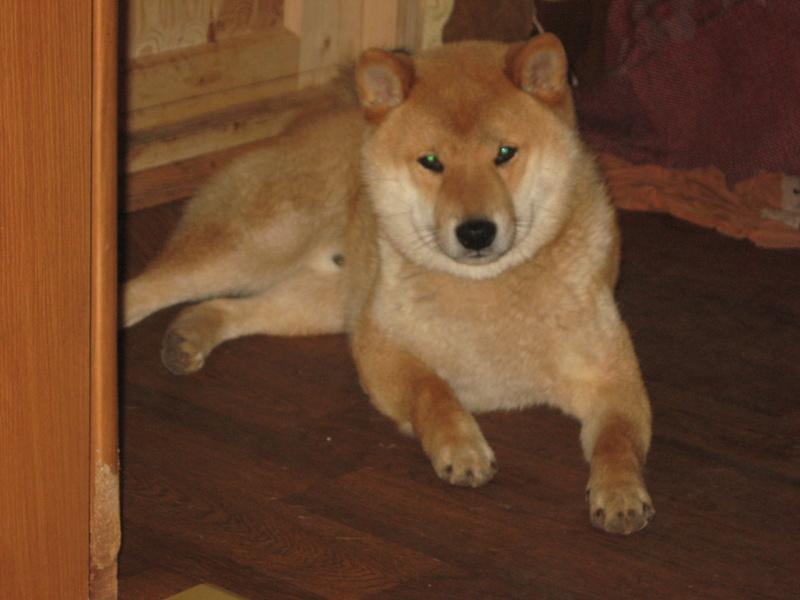 Подрощенный щенок сибы Img_5572
