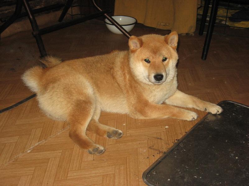 Подрощенный щенок сибы Img_5576