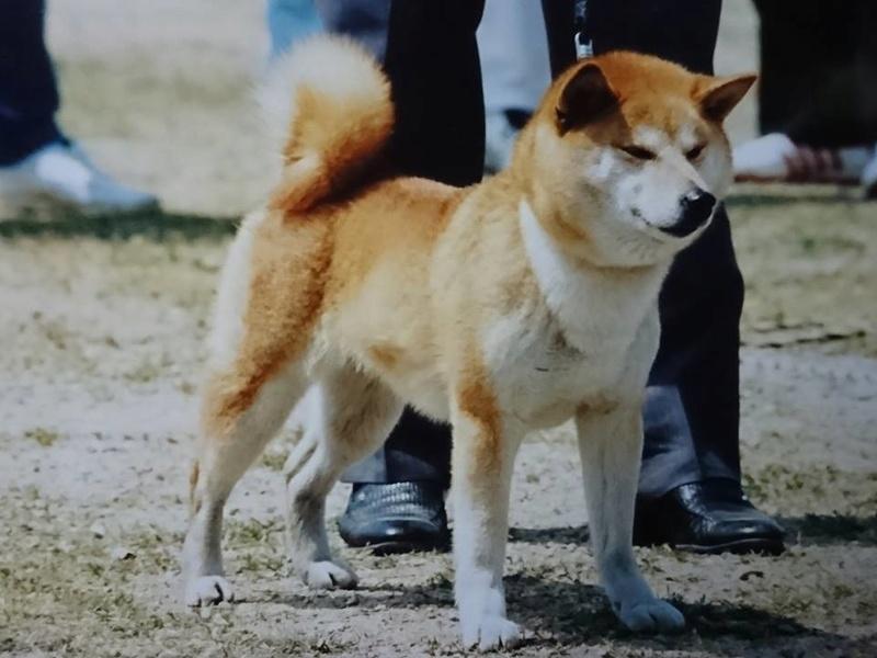 Японские представители породы - Страница 27 12910